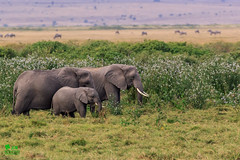 20180805IMG_7344.jpg (jmcenern) Tags: africa elephant amboselinationalpark kenya