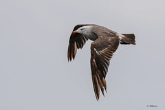 Heermann's Gull / Goéland de Heermann (shimmer5641) Tags: larusheermanni heermannsgull goélanddeheermann gaviotamexicana laridaefamily birdsofbritishcolumbia birdsofnorthamerica britishcolumbia