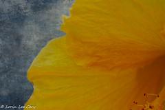 Yellow (lorinleecary) Tags: composiite manipulatedimage flowers textured artography texturedbackground malibulegacypark digitalart malibu
