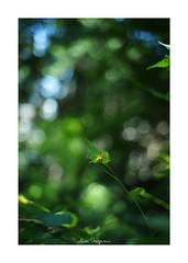 2018/8/15 - 1/3 photo by shin ikegami. - SONY ILCE‑7M2 / New Jupiter 3+ 1.5/50 L39/M (shin ikegami) Tags: 山吹 flower 花 macro マクロ 井の頭公園 吉祥寺 summer 夏 sony ilce7m2 sonyilce7m2 a7ii 50mm lomography lomoartlens newjupiter3 tokyo sonycamera photo photographer 単焦点 iso800 ndfilter light shadow 自然 nature 玉ボケ bokeh depthoffield naturephotography art photography japan earth asia