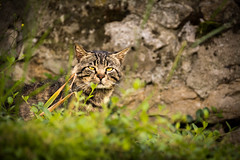 Wild Cat (andrebatz) Tags: wild life cat wildcat sleep outdoot green grass stone cute animals wildlife felis silvestris annecy france portrait angry eyes kitten hunting posing sleepy curious