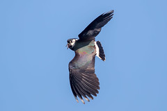 Lapwing (Simon Stobart) Tags: lapwig vanellus flying north east england uk