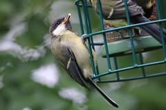 Great Tit (jpotto) Tags: uk lancashire leightonmoss bird tit greattit