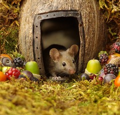 wild house mouse in log pile  with fruits and berry's (2) (Simon Dell Photography) Tags: wild george log pile house mouse nature garden animal rodent cute fun funny summer fruits berries berrys display lots bounty moss covered simon dell photography sheffield 2018 aug cool awesome countryfile ears close up high detail cards design