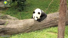 2018_08-19j (gkoo19681) Tags: beibei chubbycubby fuzzywuzzy adorableears brighteyed patientlywaiting goodboy posing favoritelog toocute sohandsome beingadorable precious darling comfy cooldude ccncby nationalzoo