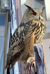 Clyde (billnbenj) Tags: barrow cumbria owl eurasianeagleowl raptor birdofprey