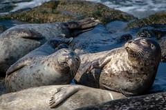 The Good Life (helenehoffman) Tags: pinniped california conservationstatusleastconcern commonseal mammal lajollacove harborseal seal animal sandiego marinemammal