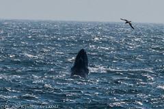 AHK_7497 (ah_kopelman) Tags: unkmncresli2018082201 2018 cresli creslivikingfleetwhalewatch megapteranovaeangliae montaukny vikingfleet vikingstarship breaching humpbackwhale juvenilehumpback whalewatch