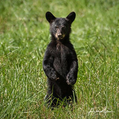 """""""What's all the Fuss?"""" A black bear cub in Cades Cove, Tennessee in the Great Smoky Mountains National Park 