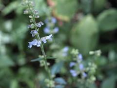 アキノタムラソウ (mayfly jpn) Tags: 野草 山の花