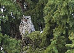 Great Horned Owl...#1 (Guy Lichter Photography - 4M views Thank you) Tags: owlgreathorned canon 5d3 canada manitoba winnipeg wildlife animals birds owl owls