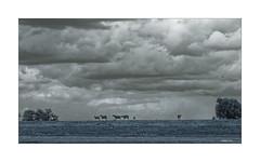 """""""Das schwarze Schaf vom Niederrhein"""" (Babaou) Tags: deutschland nrw kreiskleve kalkar hönnepel rhein rheindeich schafe hannsdieterhüsch sw bw nb wolken clouds dxopl niederrhein"""