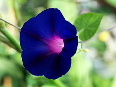 Purple blue ipomoea flower. Morning glory. (George Ino) Tags: naturenatuurnatur flower bloem flora ipomoea purple paars blue blauw macro makro morningglory georgeinohotmailcom copyright utrecht nederland holland thenetherlands ipomoeapurpurea coth coth5 ngc
