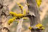 So Green The Lichen (sbisson) Tags: washington washingtonpass cascades northcascades mountains green tree lichen wood forest