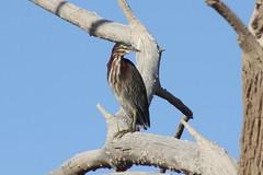 Green Heron (Butorides virescens) (Camden S. Bruner) Tags: greenheron butoridesvirescens heron bird