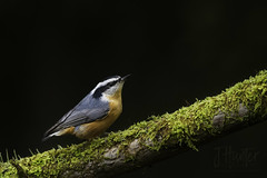 Red-breasted Nuthatch (J.Hunter Photography) Tags: