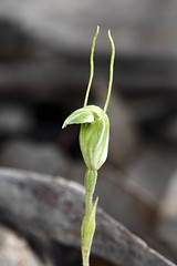 P{terostylis nana (species orchids) Tags: pterostylissanguinea p{terostylisnana nikon d850 180mm macro lens ring flash