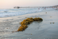 Seaweed and Scripps Pier, La Jolla, San Diego, CA (Photos By Clark) Tags: california lajolla beachshots subjects northamerica location canon2470 canon5div unitedstates sandiego cities locale places where us lightroom seaweed pier water pacific sunset beach swimmers thesandiegoist