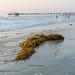 Seaweed and Scripps Pier, La Jolla, San Diego, CA