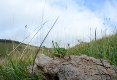 Thanks Sheep!  Wart-biter cricket (Decticus verrucivorus) on sheep dung (willjatkins) Tags: animal wildlife nature animalinhabitat grazing habitatmanagement rarewildlife rarespecies rareanimal insect insects cricket crickets grasshoppersandcrickets cricketsandgrasshoppers orthoptera decticus decticusverrucivorus wartbiter wartbitercricket britishwildlife britishorthoptera chalkgrassland grasslandmanagement britishcrickets ukwildlife ukorthoptera ukcrickets sussexwildlife wildlifeofsussex nikond610 nikon fisheye fisheyelens wideanglelens wideangle sigma15mm