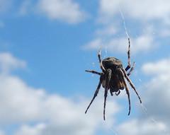 spider in the window (chasdobie) Tags: spider insect macro sky web almonte lanarkcounty ontario canada nikon arachnid outdoor