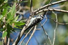Male Downy Woodpecker - Picoides pubescens (jessica.rohrbacher) Tags: male downy woodpecker picoides pubescens picidae bird avian calgary alberta canada