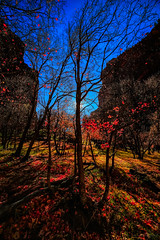 Trees of Zion 2 (logical_j) Tags: ultrawide 14mm rokinon zion zionnationalpark backlight autumnleaves foliage shadows lightsandshadows autumncolors leaves autumn forest trees landscape eos6d