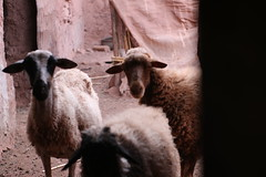 Sheep (maO Tours) Tags: maroc morocco village sous tamda compagne mouton sheep