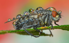 Fly (salmoteb@rogers.com) Tags: macro wild outdoor nature 105mm after rain toronto canada ontario closeup color