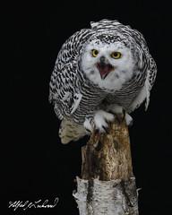 Snowy Owl Portrait_T3W2886 (Alfred J. Lockwood Photography) Tags: alfredjlockwood nature snowyowl juvenile portrait canadianraptorconservancy crc ontario canada crazyeyes autumn morning