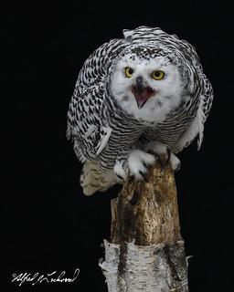 Snowy Owl Portrait_T3W2886
