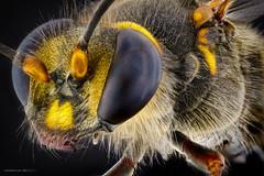 Janet Van Dyne (The wasp) (Carballada) Tags: macrophotography macro macrofotografia stacked insecto insect bug animal