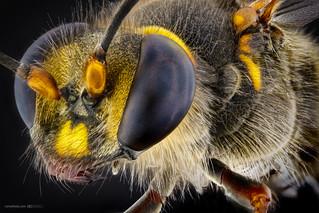 Janet Van Dyne (The wasp)