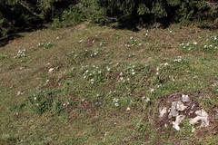 Eine Bergwiese voll Silberdisteln (uwelino) Tags: switzerland schweiz swiss suisse swisstravel swisstravelspectacular kanton schwyz 2018 europa europe silberdistel alpenflora alpenblumen carlina acaulis