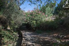 Ψίνθος (Psinthos.Net) Tags: ψίνθοσ psinthos nature countryside september autumn σεπτέμβρησ σεπτέμβριοσ φθινόπωρο εξοχή φύση πρωί πρωίφθινοπώρου φθινοπωρινόπρωί morning φώσ σκιά light shadow sunlight φώσήλιου φώσηλίου ρυάκι rivulet κοιλάδα κοιλάδαψίνθου κοιλάδαψίνθοσ valley psinthosvalley καταρράχτησ waterfall oleander pinkoleander ρόζάνθη pinkblossoms blossoms άνθη ρόζπικροδάφνη πικροδάφνη καλάμια καλαμιέσ reeds stubbles path μονοπάτι λιθόστρωτο paved fallenleaves autumnleaves φύλλαφθινοπώρου φθινοπωρινάφύλλα πεσμέναφύλλα planetree πλάτανοσ sky ουρανόσ γαλάζιοσουρανόσ bluesky leaves φύλλα βάτοσ bramble ελιά ελαιόδεντρο olivetree olive steps stair σκάλα σκαλιά shrubs θάμνοι