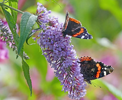 Red Admirals (eric robb niven) Tags: ericrobbniven scotland redadmiral butterfly wildlife nature fife buddleia flowers dundee dura den cycling
