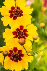 Coreopsis Tinctoria (hasjhasj1) Tags: bloemen coreopsistinctoria