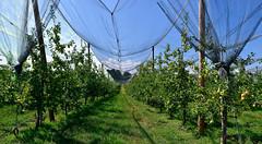 Pommeraie (Diegojack) Tags: vaud suisse echandens d500 nikon nikonpassion perspective filets pommes arbres