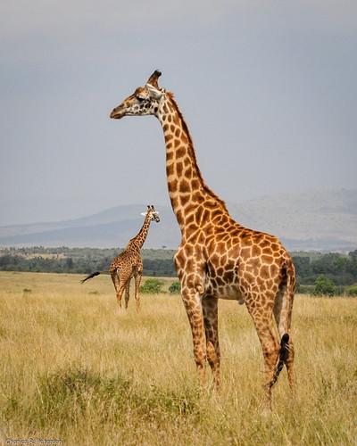 2 Giraffes - Kenya