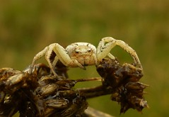 Creamy Coloured Crab Spider..x (Lisa@Lethen) Tags: crab spider nature wildlife macro legs eyes insect