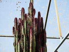 Cactus Country, Strathmerton 1409 (Lesley A Butler) Tags: victoria strathmerton cactuscountry cacti australia