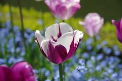 JLF14570 (jlfaurie) Tags: maintenon château castillo palace 22042018 jardin garden tulipes tulipanes tulips mechas gladys amigos friends michel magda sergio primavera printemps pentaxk5ii mpmdf jlfr jlfaurie spring flowers flores fleurs agua eau water canal intérieurs interiores inside