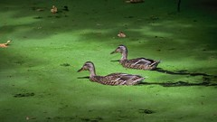 Ducks on a green Pavilion pond 9 9 2018 (rbdal (Rick Dalrymple)) Tags: green ducks pond roodbridgepark citypark hillsboro washingtoncounty oregon d7000 nikon