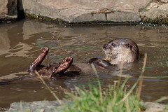 Just Chillin' (Linda Martin Photography) Tags: wildlifepark otterpark wildlife nature aonyxcinereus asianshortclawedotter tamarvalley rivertamar cornwall uk animal naturethroughthelens alittlebeauty specanimal coth5 ngc npc