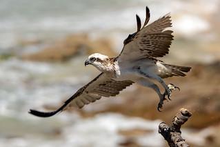 Osprey - Takeoff