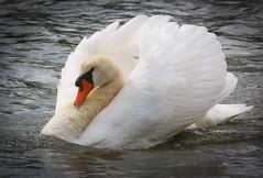 Swan using the breeze. (pootlepod) Tags: canon60d closeup candid birds swann gulls behaviour birdbehaviour devon colour bill beak mating teign feathers rspb copying imitating nature natural fauna riverbank estuary esturial wildlife