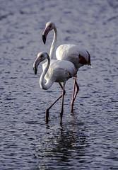 IMG_6526 (ibzsierra) Tags: ibizaeivissa baleares canon 7d tamrob g2 150600 ave bird oiseau flamenco flamingo salinas parque natural