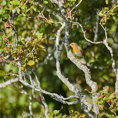 rougequeue à front blanc (ptxjp) Tags: nature oiseau ciel exterieur extérieur sauvage rapace pyrénées nikon captureone passereaux