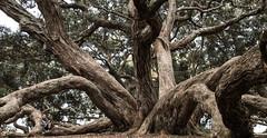 16 sept 2018 - photo a day (slava eremin) Tags: 365 tree auckland nz newzealand hugepohutukawa