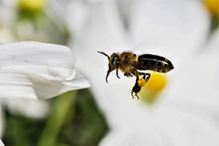 Black on white (Paul Wrights Reserved) Tags: bee bees beeinflight insect insects flyinginsect insectinflight infocus inflight flying flight nature blackbee macro
